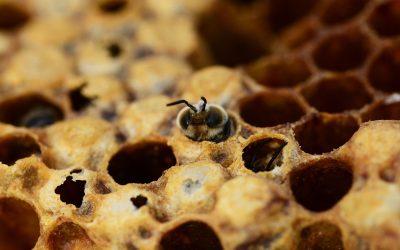 Zuid-Holland geeft bijen (weer) de ruimte